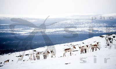 Reindeer Herd on Top of the Fell Joenkielinen