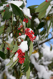 Snow covered red berries.