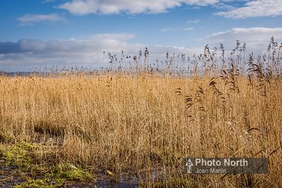 Grass, Rush and Sedges photos