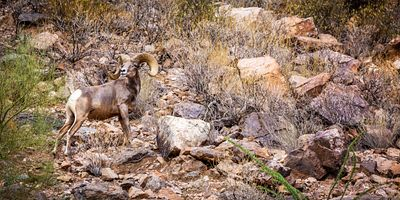 Big Horn Sheep Horizontal Web Banner