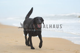 close up of dog running on the beach