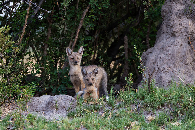 Side-Striped Jackals at the Den