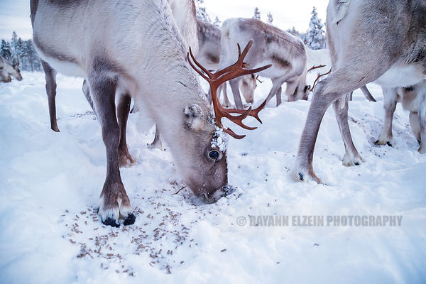 Reindeer eating some pellets
