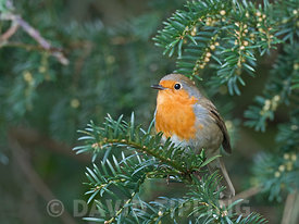Robin Erithacus rubecula  in Yew tree in churchyard in Suffolk February