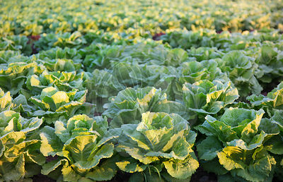 lettuces growing in field, Mallorca at sunrise