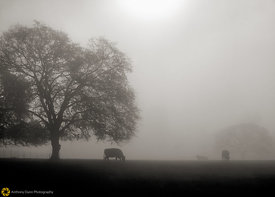 Cattle in Fog