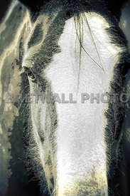 Shire Horse Portrait Abstract