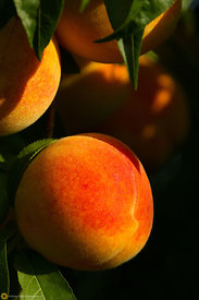 Ripe Peaches on the Tree #2