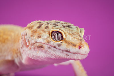 Leopard Gecko Close Up