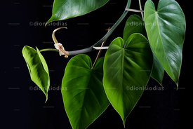 "Constricting vine, ""Epipremnum aureum"" in black background"