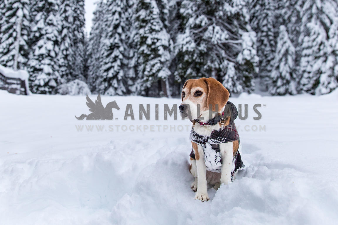 Beagle with snow covered trees