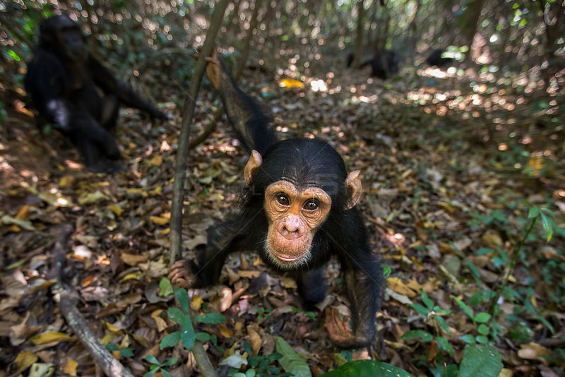 Eastern chimpanzee (Pan troglodytes schweinfurtheii) infant male 'Google' aged 3 years approaching with curiosity. Gombe National Park, Tanzania.