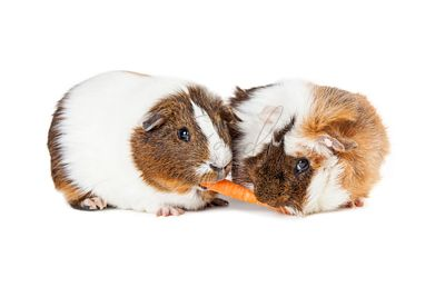 Two Guinea Pigs Sharing Carrot