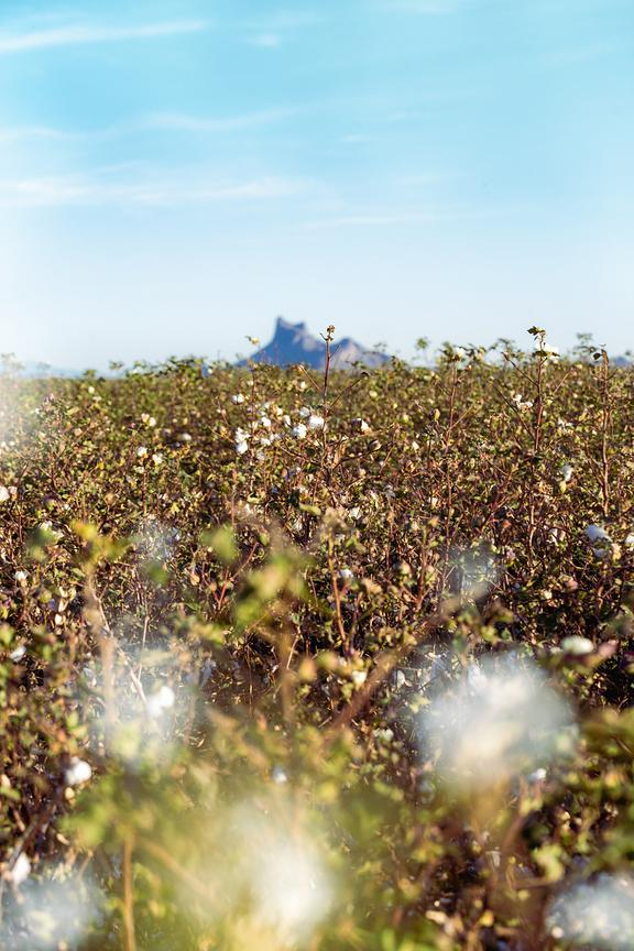 Cotton Field in Arizona