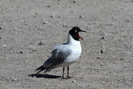 Adult Andean gull (Larus or Chroicocephalus serranus) in summer / breeding plumage calling