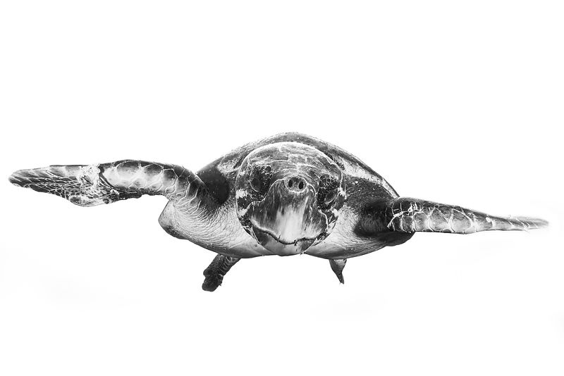 Back and white sea turtle