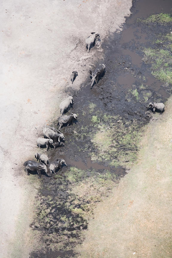 Aerial view of African elephants (Loxodonta african) bathing in mud on the banks of the Linyanti River, Botswana.  Taken on location for BBC Planet Earth series, 2005