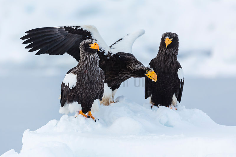Steller's Eagles on Ice Floe