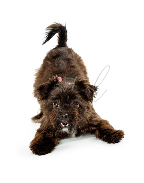 Playful black terrier puppy on white