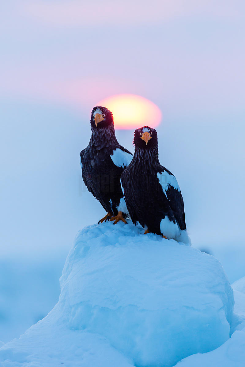 Two Steller Eagles on Ice Floe at Dawn