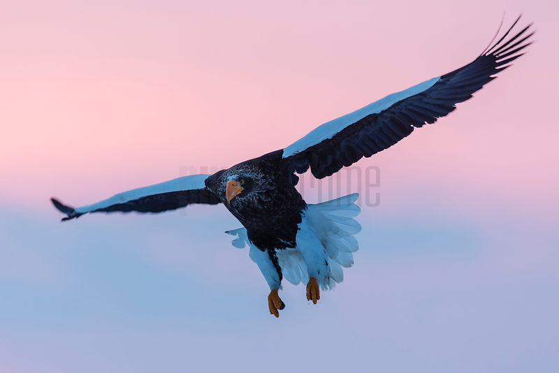 Steller's Eagle Landing on Ice Floe at Dawn