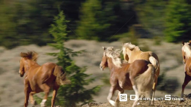 A large herd of Mustang horses gallop through sagebrush, meadows, and trees in the foothills of the Gravelly mountain range near Ennis, Montana