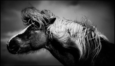 Wild haired horse in Iceland 2015 © Laurent Baheux