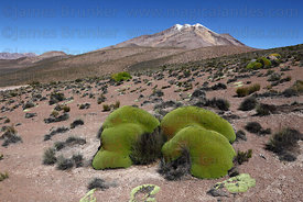 Yareta plant ( Azorella compacta ) on hillside and Cerro Chuquiananta volcano , Region XV , Chile