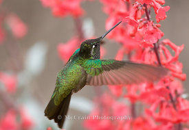 Magnificant Hummingbird, Male