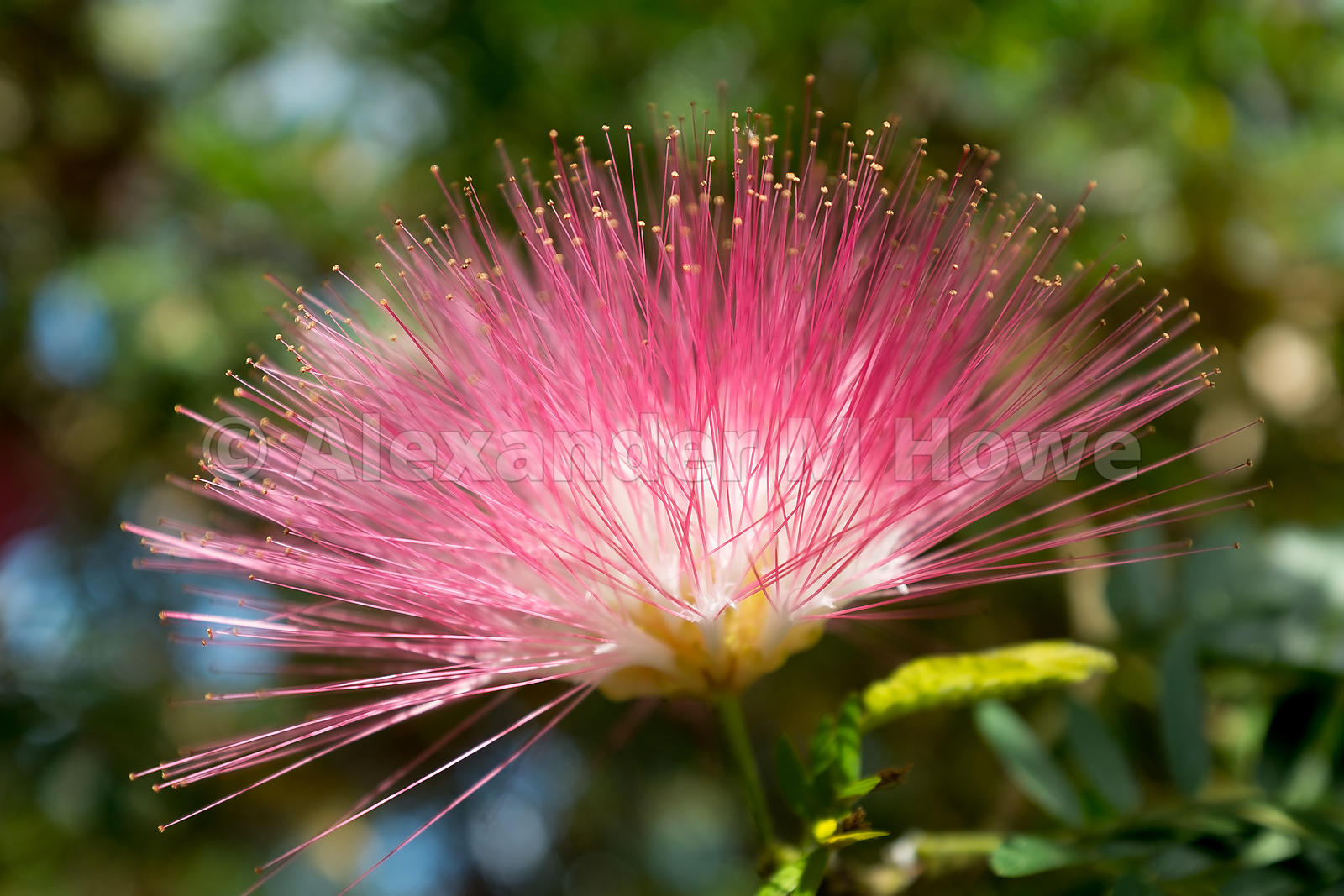 The Pink Powder Puff Flower