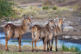 Three Baby Water Buck