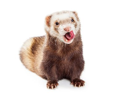 Funny Ferret Pet With Tongue Sticking Out