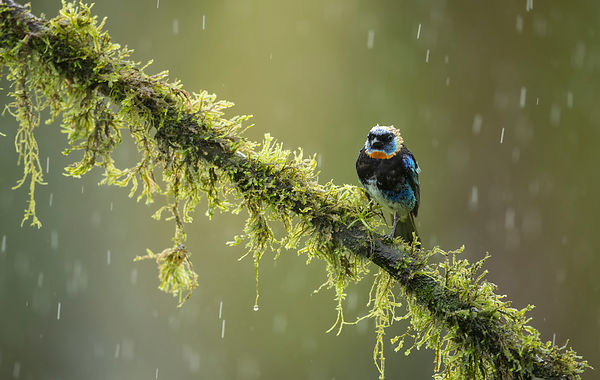 A bedraggled Golden-Hooded Tanager