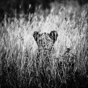 00276-Lion_Laurent_Baheux
