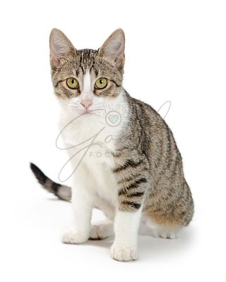 Shorthair Tabby and White Cat Sitting Looking Forward