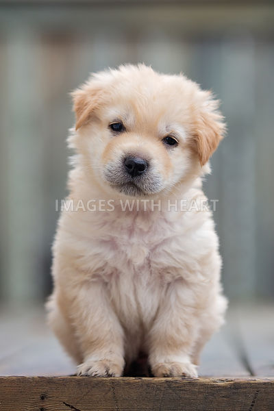 Portrait of a golden retriever cross puppy
