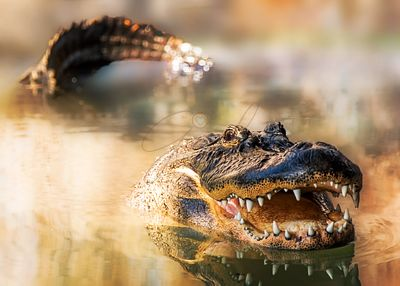 Alligator in water with teeth and tail showing