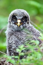 The Great Grey Owl Chick