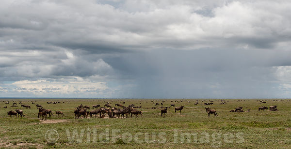 Large herd of White bearded wildebeest (Connochaetes mearnsi/albojubatus) with young, Serengeti National Park, Tanzania; Landscape