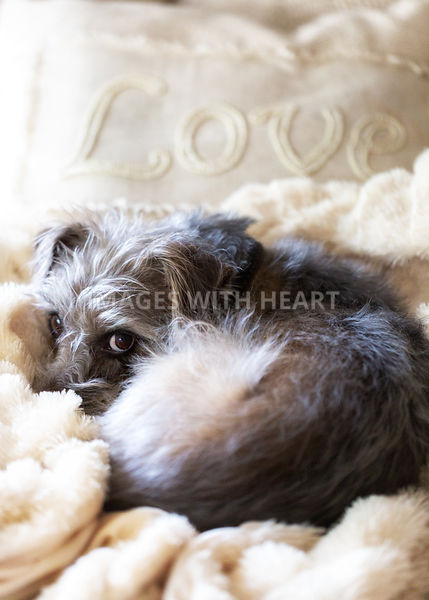 Cute Dog Snuggled Up With Love Pillow