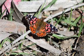 Brazilian painted lady butterfly (Vanessa braziliensis)