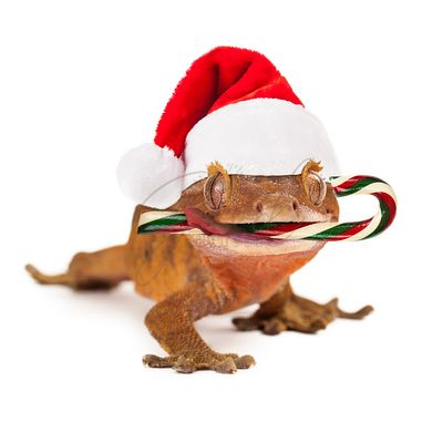 Funny Lizard Eating Christmas Candy Cane