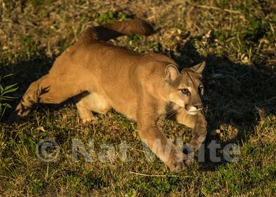 Cougar-Triple_D_wildlife-22017-824-July_31_2017