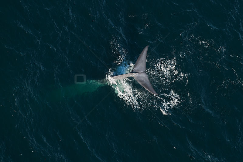 Blue whale (Balaenoptera musculus) aerial view of whale fluking / diving, Sea of Cortez, Gulf of California, Baja California, Mexico, March, endangered species