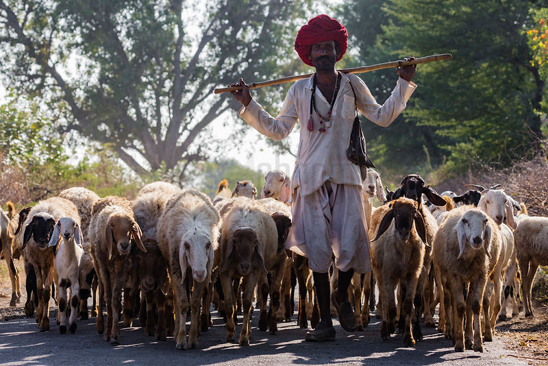 A Rabari Man Leads his flock of Sheep and Goats