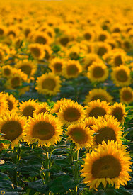 Sunflower Field #4