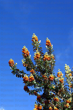 Flower heads of Buddleja coriacea or kiswara tree
