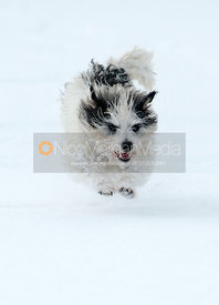 Jack Russell Terrier running through deep snow