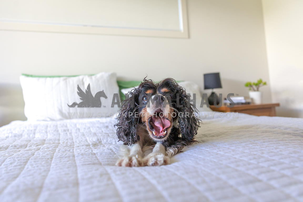 Small dog withbed hair yawning and stretching