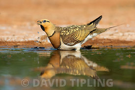 Pin-tailed Sandgrouse Pterocles alchata drinking at pool Belchite, Aragon, Spain, July